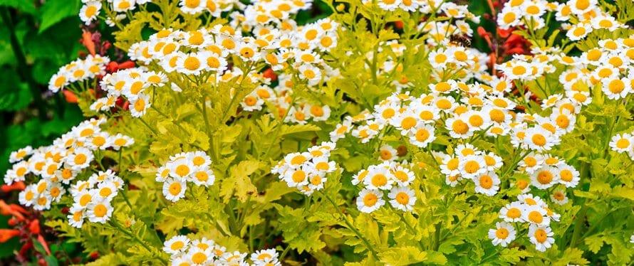 Gartengestaltung-mit-Kamille